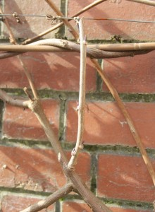 Wisteria Pruning Image 1